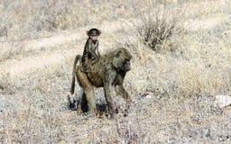 Baby-Pavian, der ein per Anhalter fahren Lizenzfreie Stockfotografie