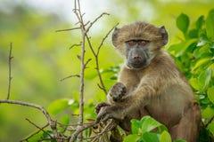 Baby-Pavian, der im Baum sich entspannt Lizenzfreie Stockbilder