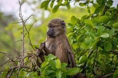 Baby-Pavian, der im Baum sich entspannt Stockfoto