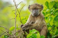 Baby-Pavian, der im Baum sich entspannt Lizenzfreies Stockbild