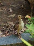 Baby peacock, Pavo cristatus. Baby peacock – peafowl, Pavo cristatus– chick Stock Photo