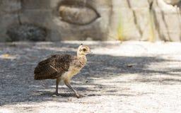Baby peacock, Pavo cristatus. Peacock peafowl, Pavo cristatus– chicks Stock Image