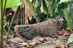 Baby Peacock Stock Photos