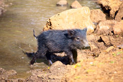 Baby of Peccary Stock Images