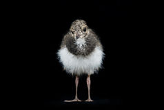 Baby peewit stock photo