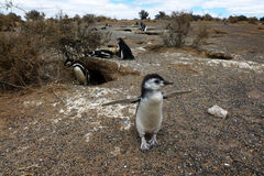 Baby penguin. Colony of Magellanic Penguins at Punta Tombo, Argentina, South America Royalty Free Stock Photography