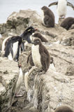 Baby Penguin Stock Photography