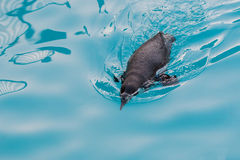 Baby penguin swimming in the pool. Royalty Free Stock Photo