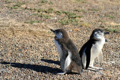 Baby penguins Royalty Free Stock Image