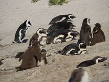 Baby penguins at Boulders Beach, Cape Town. Simon's Town, South Africa-August 16, 2016:Boulders Beach is a sheltered beach made up of inlets between granite Stock Photo