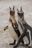 Baby penguins calling. Close up of two baby penguins calling or singing Royalty Free Stock Photo