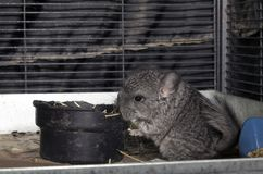 Baby pet Chinchilla in cage Stock Image