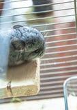 Baby pet chinchilla Royalty Free Stock Photo