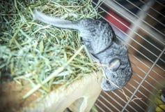 Baby pet chinchilla Stock Photo