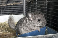 Baby pet Chinchilla in cage Royalty Free Stock Photos