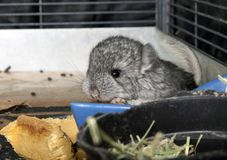 Baby pet Chinchilla in cage Royalty Free Stock Photography