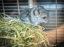 Baby pet chinchilla Stock Photography