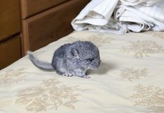 Baby pet Chinchilla on human bed Royalty Free Stock Photos