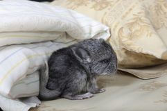 Baby pet Chinchilla on human bed Stock Photos