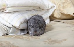 Baby pet Chinchilla sleeping Royalty Free Stock Images