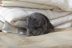 Baby pet Chinchilla sleeping Stock Photos