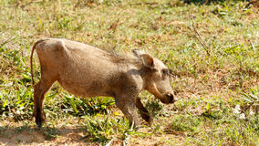 Baby - Phacochoerus africanus The common warthog. Baby - Phacochoerus africanus - The common warthog is a wild member of the pig family found in grassland royalty free stock photos