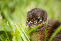 Baby pheasant on grass. Black Baby pheasant on grass Royalty Free Stock Images