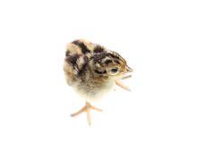 Baby pheasant isolated on white. Background Royalty Free Stock Images