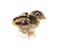 Baby pheasant isolated on white Stock Photography