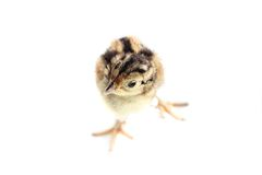 Baby pheasant isolated on white Stock Photos