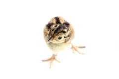 Baby pheasant isolated on white. Background Stock Photos