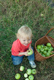 Baby picking apples. Young boy smiling and showing 1st teeth while picking apples, fresh basket of apples aside Royalty Free Stock Images