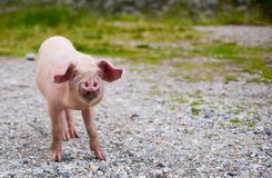 Baby pig. Portrait of a baby pig with a funny expression, outdoor royalty free stock photography
