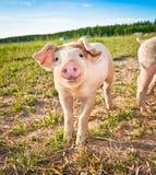 Baby pig Stock Photos