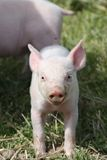 Baby pig Stock Photos