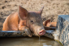 Baby pig drinking water Royalty Free Stock Photos