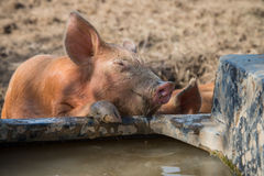 Baby pig drinking water Royalty Free Stock Photography
