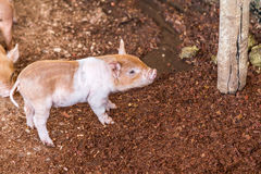 Baby pig in the farm. Brazil country side royalty free stock images