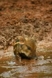 Baby Pig In The Mud 4 Royalty Free Stock Image