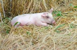 Baby pig looking at camera. Baby pig lay on straw looking at camera stock image
