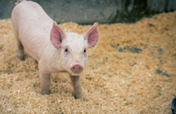Baby pig. In a pen at a state fair royalty free stock image