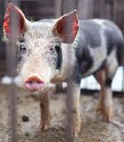Baby pig in a pigsty. Baby pig behind bars in a pigsty stock image