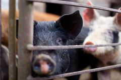 Baby pig in a pigsty. Baby pig behind bars in a pigsty Stock Images