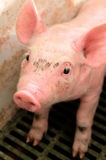 Baby pig in a pigsty Stock Photography