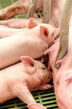 Baby pig in a pigsty Stock Images