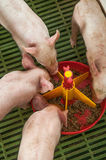 Baby pig in a pigsty Royalty Free Stock Image