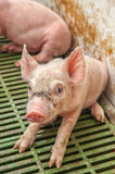 Baby pig in a pigsty Royalty Free Stock Photos