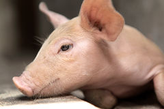 Baby Pig Stock Photo