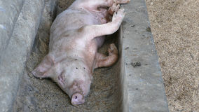 Baby pig. Sleeping in a dry water bassin at a farm in the Philippines royalty free stock image