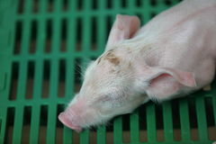 Baby pig sleeping Stock Images